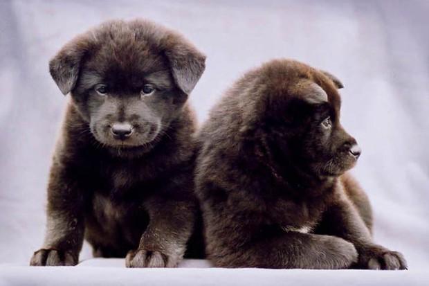 7 giống chó quý hiếm nhưng ít người biết đến, có cả Quốc khuyển Triều Tiên dữ như cọp - Ảnh 8.