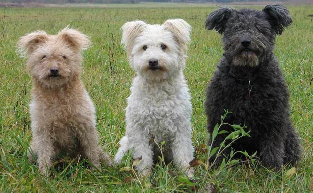7 giống chó quý hiếm nhưng ít người biết đến, có cả Quốc khuyển Triều Tiên dữ như cọp - Ảnh 2.