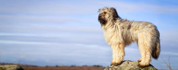 7 giống chó quý hiếm nhưng ít người biết đến, có cả Quốc khuyển Triều Tiên dữ như cọp - Ảnh 3.