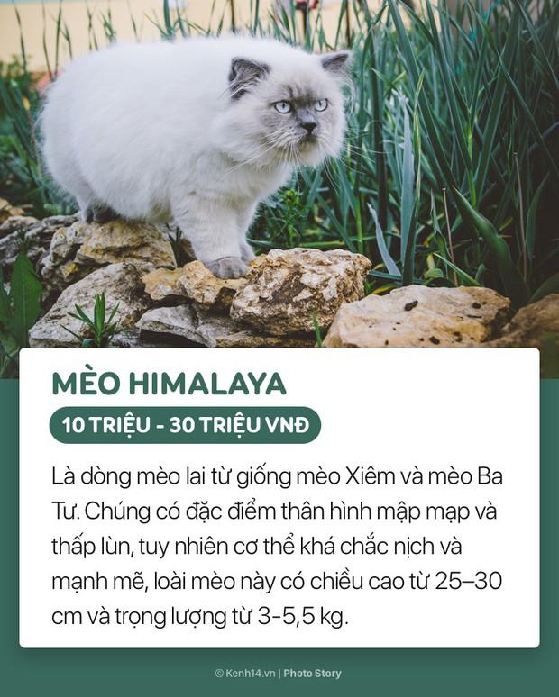Những boss mèo đáng yêu và đắt tiền nhất nhì thế giới - Ảnh 9.