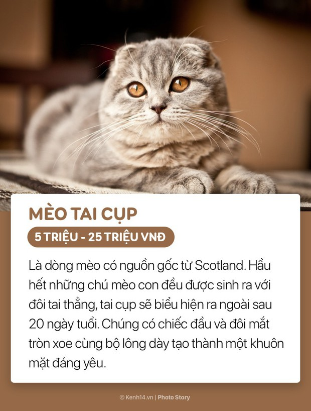 Những boss mèo đáng yêu và đắt tiền nhất nhì thế giới - Ảnh 13.