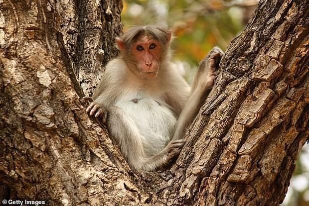 Ông lão nhặt củi bị đàn khỉ hung dữ ném gạch đến chết - Ảnh 1.