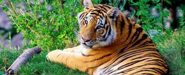 Khoa học xác nhận có 9 loài hổ trên Trái đất, 3 loài đã tuyệt chủng và đây là lý do vì sao điều này quan trọng - Ảnh 2.