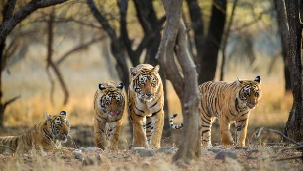 Khoa học xác nhận có 9 loài hổ trên Trái đất, 3 loài đã tuyệt chủng và đây là lý do vì sao điều này quan trọng - Ảnh 1.