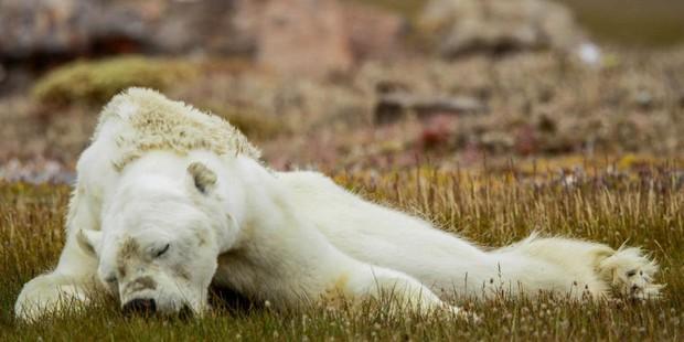 Câu chuyện buồn sau bức ảnh chú gấu trắng nguyện cầu đang được chia sẻ mạnh trên MXH - Ảnh 4.