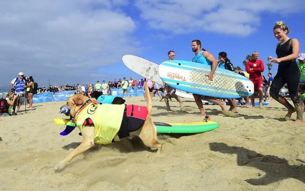 """Hình ảnh những chú chó gây bão mạng với tài lướt sóng như """"dân chơi"""" - Ảnh 1."""