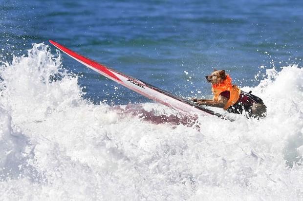 """Hình ảnh những chú chó gây bão mạng với tài lướt sóng như """"dân chơi"""" - Ảnh 2."""