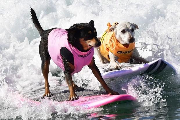"""Hình ảnh những chú chó gây bão mạng với tài lướt sóng như """"dân chơi"""" - Ảnh 4."""