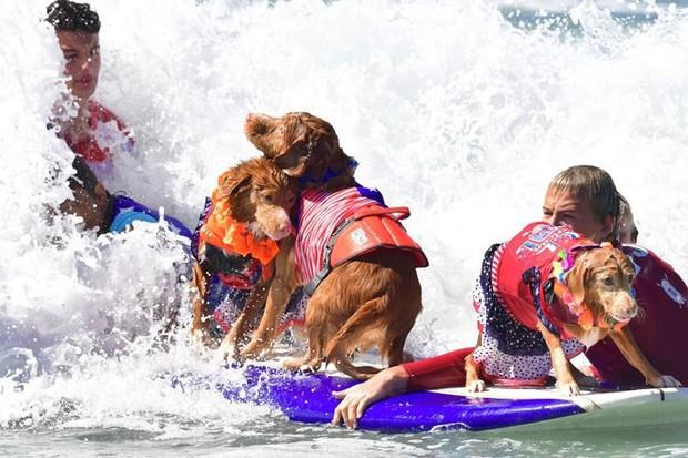 """Hình ảnh những chú chó gây bão mạng với tài lướt sóng như """"dân chơi"""" - Ảnh 5."""