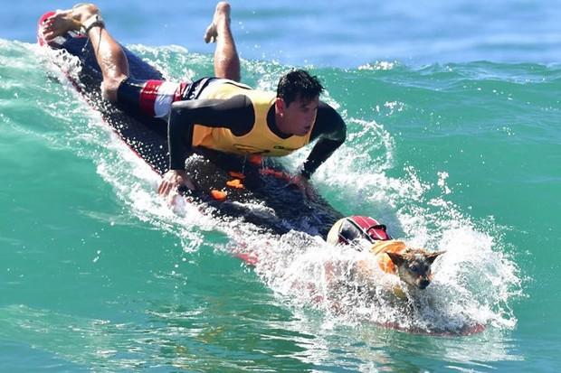 """Hình ảnh những chú chó gây bão mạng với tài lướt sóng như """"dân chơi"""" - Ảnh 6."""