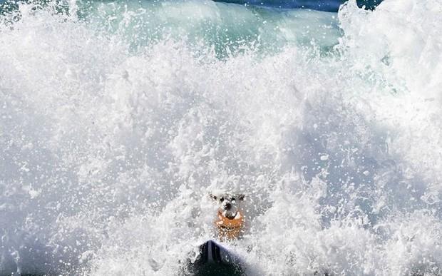 """Hình ảnh những chú chó gây bão mạng với tài lướt sóng như """"dân chơi"""" - Ảnh 7."""
