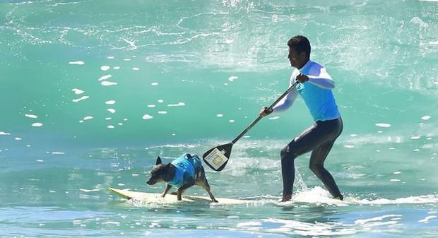 """Hình ảnh những chú chó gây bão mạng với tài lướt sóng như """"dân chơi"""" - Ảnh 9."""