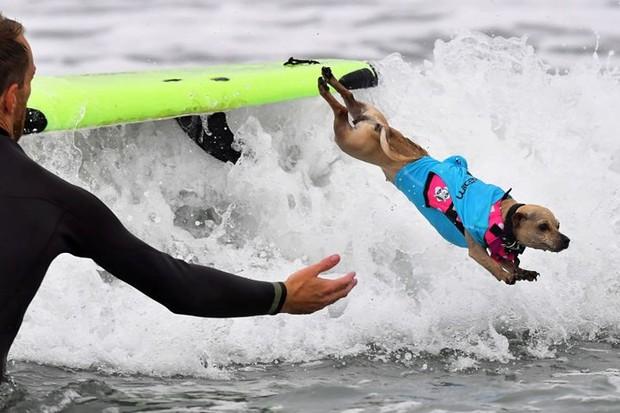 """Hình ảnh những chú chó gây bão mạng với tài lướt sóng như """"dân chơi"""" - Ảnh 10."""