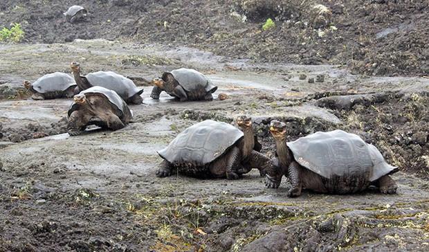 123 con rùa non trên quần đảo Galapagos bị đánh cắp - Ảnh 1.
