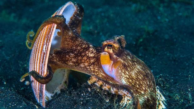 Thiên tài của đại dương? Hãy gọi tên bạch tuộc nhé - Ảnh 1.