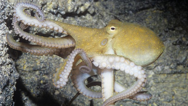 Thiên tài của đại dương? Hãy gọi tên bạch tuộc nhé - Ảnh 2.