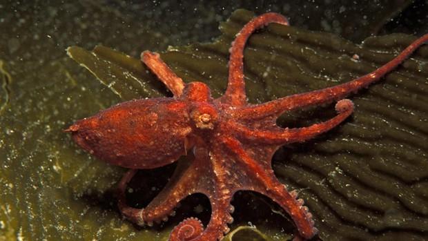 Thiên tài của đại dương? Hãy gọi tên bạch tuộc nhé - Ảnh 5.