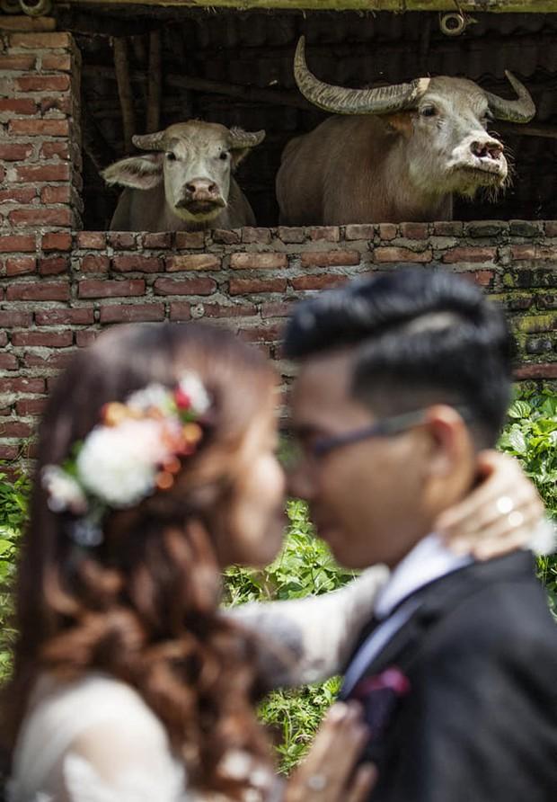 Cười lộn ruột với bức ảnh cưới có nhân vật chính là 2 chú trâu, cô dâu chú rể chỉ sắm vai kép phụ - Ảnh 1.