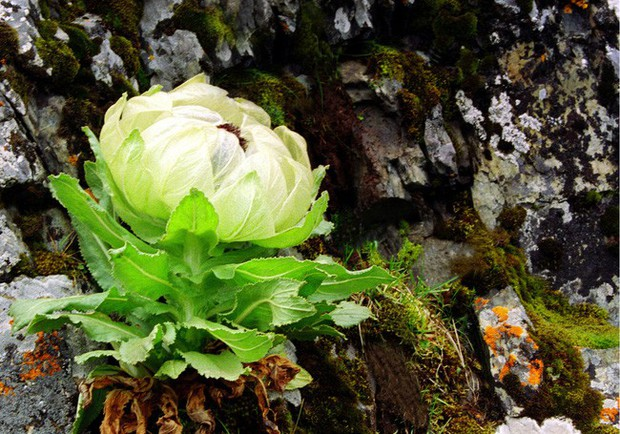 Thiên sơn tuyết liên: Hoa sen cực hiếm của Tây Tạng, 7 năm mới nở 1 lần trên núi tuyết, giá 5 triệu/hoa - Ảnh 1.