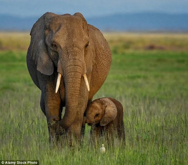 Loài voi đang tiến hóa không mọc ngà sau nhiều năm bị tàn sát - Ảnh 1.