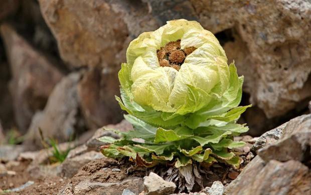 Thiên sơn tuyết liên: Hoa sen cực hiếm của Tây Tạng, 7 năm mới nở 1 lần trên núi tuyết, giá 5 triệu/hoa - Ảnh 3.