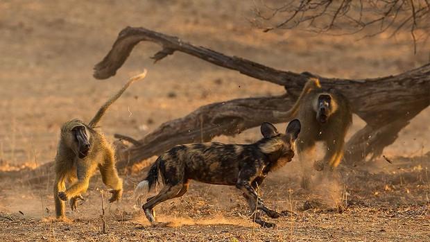 Châu Phi có một loài chó đẹp như tranh vẽ và săn còn giỏi hơn cả sư tử - Ảnh 2.