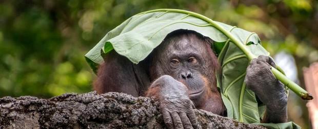 Đười ươi là loài linh trưởng duy nhất bên cạnh con người có thể làm được điều này - Ảnh 1.