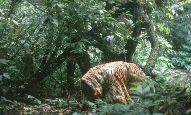 Đười ươi là loài linh trưởng duy nhất bên cạnh con người có thể làm được điều này - Ảnh 2.
