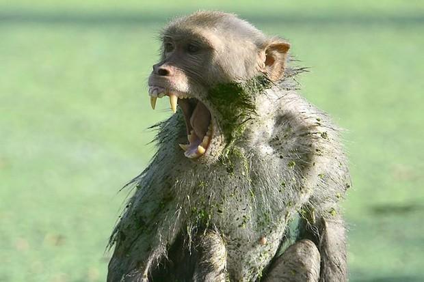 Khỉ hoang tiếp tục cắn chết một phụ nữ sau khi giết bé 12 ngày tuổi - Ảnh 1.