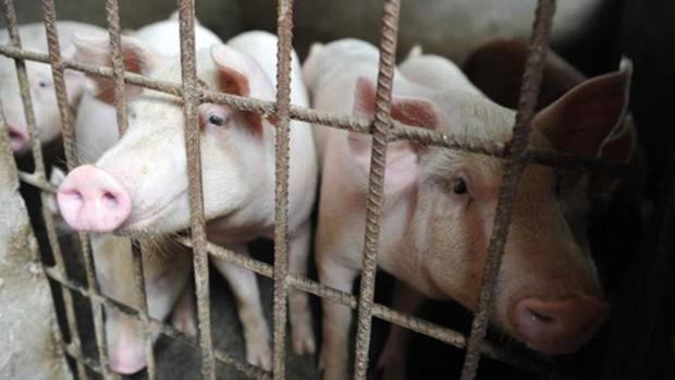 Trung Quốc: dịch cúm lợn châu Phi lan đến Thượng Hải - Ảnh 1.
