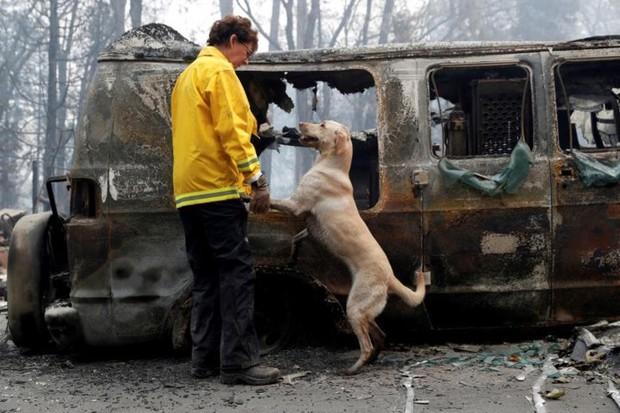 Ảnh: Chó nghiệp vụ Mỹ lùng sục tìm kiếm tử thi vụ cháy rừng California - Ảnh 1.
