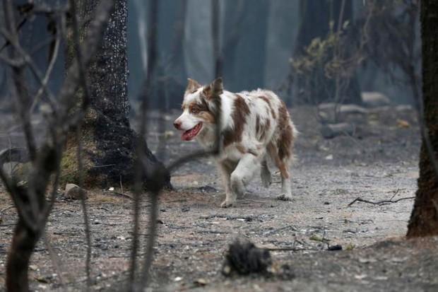 Ảnh: Chó nghiệp vụ Mỹ lùng sục tìm kiếm tử thi vụ cháy rừng California - Ảnh 2.