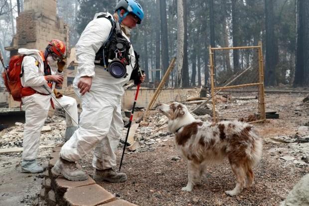 Ảnh: Chó nghiệp vụ Mỹ lùng sục tìm kiếm tử thi vụ cháy rừng California - Ảnh 11.