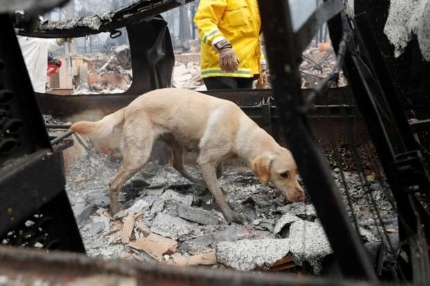 Ảnh: Chó nghiệp vụ Mỹ lùng sục tìm kiếm tử thi vụ cháy rừng California - Ảnh 12.