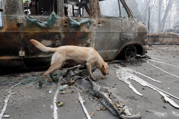 Ảnh: Chó nghiệp vụ Mỹ lùng sục tìm kiếm tử thi vụ cháy rừng California - Ảnh 7.