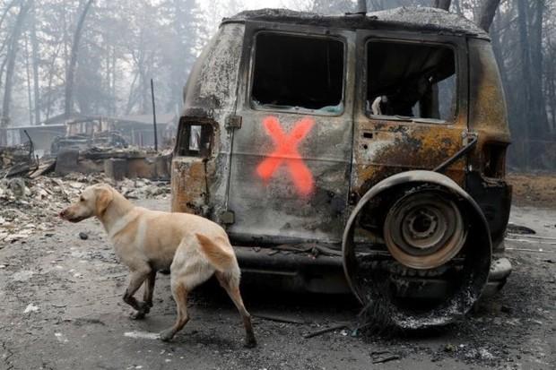 Ảnh: Chó nghiệp vụ Mỹ lùng sục tìm kiếm tử thi vụ cháy rừng California - Ảnh 9.