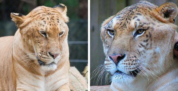 12 hoàng tử lai trong thế giới động vật với ngoại hình ngầu lòi và cá tính - Ảnh 4.