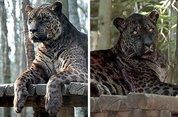12 hoàng tử lai trong thế giới động vật với ngoại hình ngầu lòi và cá tính - Ảnh 7.