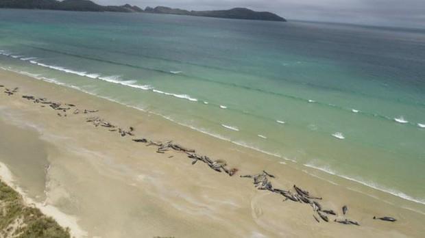 New Zealand: 145 con cá voi bất ngờ mắc cạn rồi nằm chết đầy bờ biển - Ảnh 1.