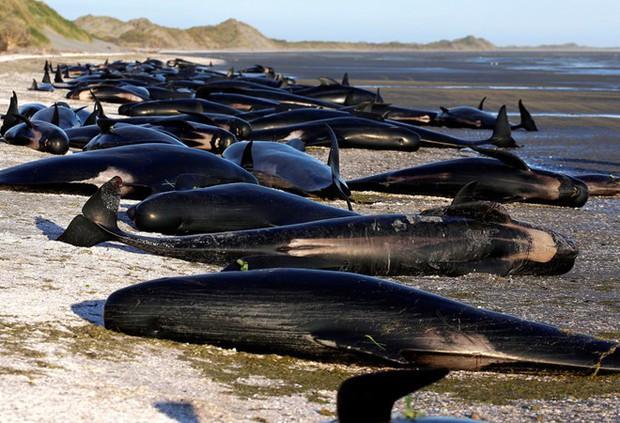 New Zealand: 145 con cá voi bất ngờ mắc cạn rồi nằm chết đầy bờ biển - Ảnh 2.