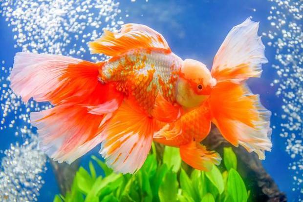 """Những sự thật khó ai tin nổi về loài cá vàng: được """"cưng"""" hết mực ở Nhà Trắng, biết làm trò như cún, và... - Ảnh 6."""