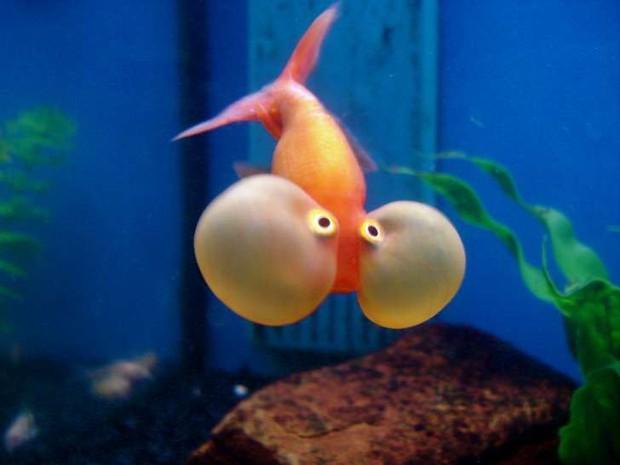 """Những sự thật khó ai tin nổi về loài cá vàng: được """"cưng"""" hết mực ở Nhà Trắng, biết làm trò như cún, và... - Ảnh 5."""