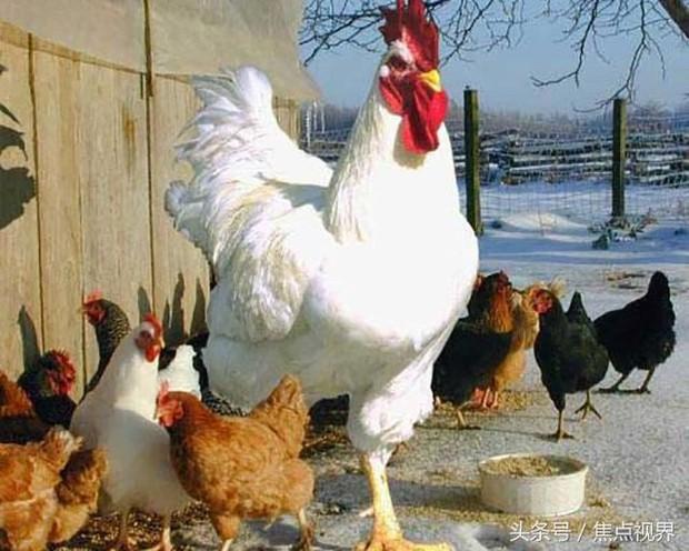 Gặp gỡ anh đại của họ hàng gà: To khủng khiếp đến khó tin, nay đã yên bề gia thất với 2 cô gà mái - Ảnh 4.