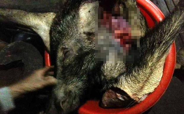 Lão nông bị lợn rừng khủng hơn 1 tạ húc thủng bụng, cắn đứt ngón tay - Ảnh 1.
