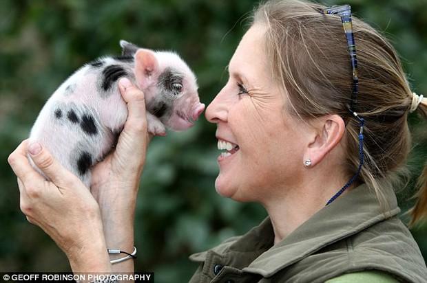 Trung Quốc: Sinh viên lén nuôi lợn cảnh mini trong kí túc xá, ai ngờ càng nuôi nó càng to như lợn thịt khiến chủ không biết giải quyết sao - Ảnh 2.