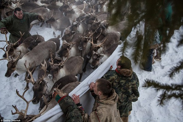 Những khoảnh khắc đời thường của Nenets: Bộ lạc du mục chuyên ăn thịt sống, uống máu tuần lộc - Ảnh 2.