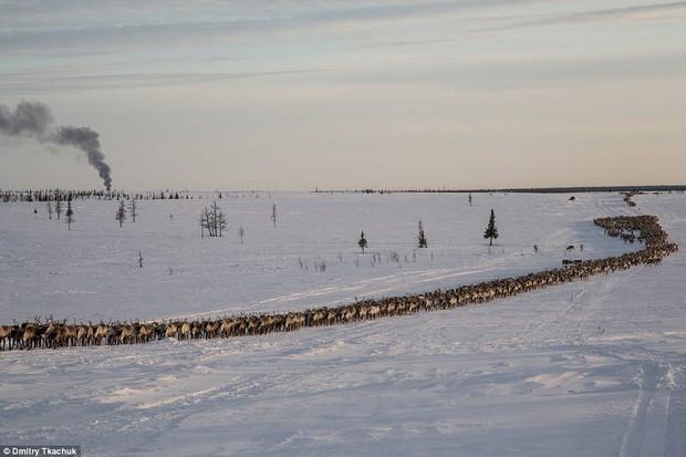 Những khoảnh khắc đời thường của Nenets: Bộ lạc du mục chuyên ăn thịt sống, uống máu tuần lộc - Ảnh 6.