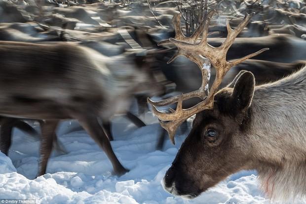 Những khoảnh khắc đời thường của Nenets: Bộ lạc du mục chuyên ăn thịt sống, uống máu tuần lộc - Ảnh 9.