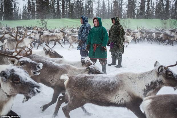 Những khoảnh khắc đời thường của Nenets: Bộ lạc du mục chuyên ăn thịt sống, uống máu tuần lộc - Ảnh 12.