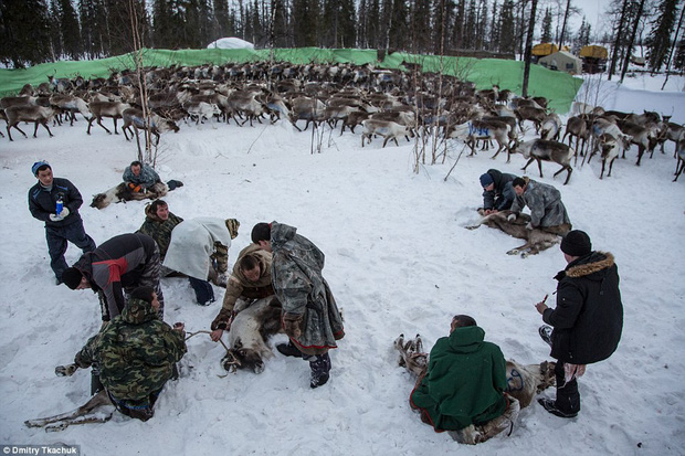 Những khoảnh khắc đời thường của Nenets: Bộ lạc du mục chuyên ăn thịt sống, uống máu tuần lộc - Ảnh 13.